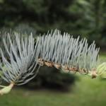 Abies concolor, a dimora dal 1996 (foto 2015)