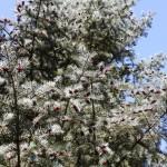 Abies concolor, a dimora dal 1996 (04-2016)
