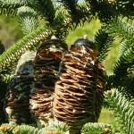 Abies numidica, a dimora dal 1996 (foto 2006)
