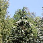 Abies numidica, a dimora dal 1996 (foto 09-2016)