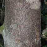 Abies pinsapo, a dimora dal 1996 (foto 2015)