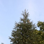 Abies pinsapo, a dimora dal 1996 (foto settembre 2015)