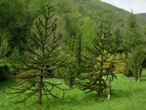 Araucaria araucana, a dimora dal 1996 (foto 2015)