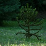 Araucaria araucana, a dimora dal 1996 (foto P. Bettoni 2010)