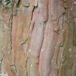 Calocedrus decurrens, a dimora dal 1996 (foto 05-2016)