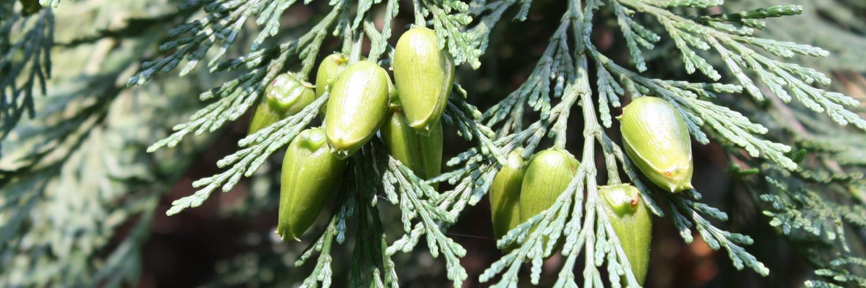 Calocedrus decurrens, a dimora dal 1996 (07-2016)