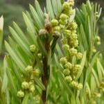 Cephalotaxus harringtonia, a dimora dal 2003 (foto 2010)