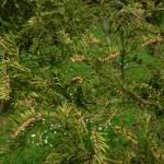 Cephalotaxus harringtonia, a dimora dal 2003 (foto 04-2015)
