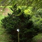 Chamaecyparis obtusa nana gracilis, a dimora dal 1996 (foto 06-2015)