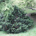 Chamaecyparis obtusa nana gracilis, a dimora dal 1996 (foto 06-2016)