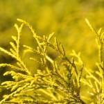 Chamaecyparis pisifera filifera aurea, a dimora dal 1996 (foto di Enrico Beduzzi 04-2016)