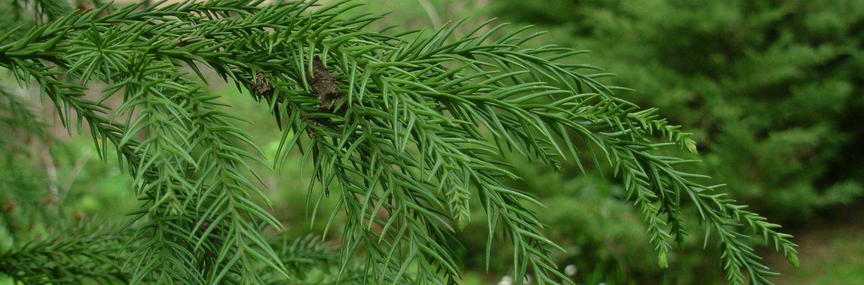 Cryptomeria japonica cristata a dimora nel 2002 (foto 2015)