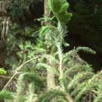 Cryptomeria japonica cristata, a dimora dal 2002 (foto giugno 2015)