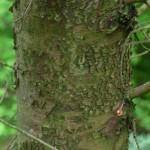 Cupressus arizonica, a dimora dal 2006 (foto aprile 2015)