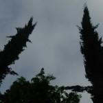 Cupressus sempervirens, a dimora dal 1996 (foto 04-2015)