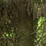Cupressus sempervirens, a dimora dal 1996 (foto 2015)
