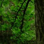 Ginkgo biloba, a dimora dal 1996 (foto maggio 2015)