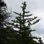 Ginkgo biloba, a dimora dal 1996 (foto 05-2016)