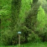 Juniperus communis, a dimora dal 1996 (foto 04-2015)