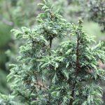 Juniperus communis, a dimora dal 1996 (foto 05-2016)