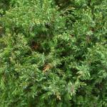 Juniperus communis suecica, a dimora dal 1996 (foto 04-2015)