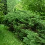 Juniperus horizontalis, a dimora dal 1996 (04-2015)