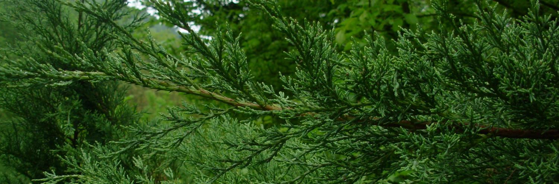 Juniperus horizontalis, a dimora dal 1996 (foto 2015)