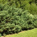 Juniperus horizontalis, a dimora dal 1996 (06-2015)