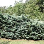 Juniperus horizontalis, a dimora dal 1996 (07-2016)