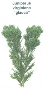 juniperusvirginianaglauca