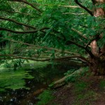Metasequoia glyptostroboides, a dimora dal 1996 (foto P. Bettoni 2010)