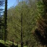 Metasequoia glyptostroboides, a dimora dal 1996 (04-2015)