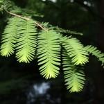 Metasequoia glyptostroboides, a dimora dal 1996 (foto maggio 2015)