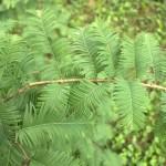 Metasequoia glyptostroboides, a dimora dal 1996 (foto giugno 2015)