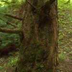 Metasequoia glyptostroboides, a dimora dal 1996 (foto 2015)