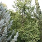 Metasequoia glyptostroboides, a dimora dal 1996 (foto settembre 2015)