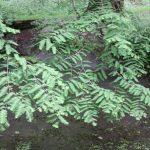 Metasequoia glyptostroboides, a dimora dal 1996 (foto maggio 2016)