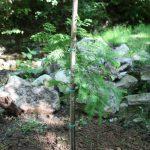 Metasequoia glyptostroboides, a dimora dal 2016 (07-2016)