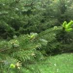 Picea abies, a dimora dal 1996 (foto 05-2015)