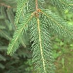 Picea abies, a dimora dal 1996 (foto 06-2015)