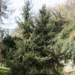 Picea abies, a dimora dal 1996 (foto 03-2016)