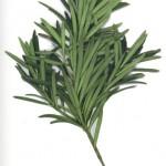 Podocarpus latifolius