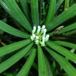 Podocarpus latifolius, a dimora dal 1998 (06-2006)
