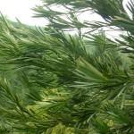 Podocarpus latifolius, a dimora dal 1998 (foto 04-2015)