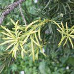 Podocarpus latifolius, a dimora dal 1998 (foto 05-2016)