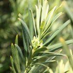 Podocarpus latifolius, a dimora dal 1998 (foto 06-2016)