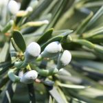 Podocarpus latifolius, a dimora dal 1998 (foto 07-2016)