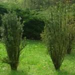 Podocarpus macrophyllus maki, a dimora dal 1998 (foto 04-2015)