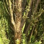 Podocarpus macrophyllus maki, a dimora dal 1998 (foto 06-2015)