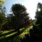 Sequoiadendron giganteum, a dimora dal 1996 (foto P. Bettoni 2010)